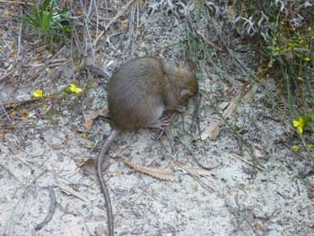 Unidentified marsupial