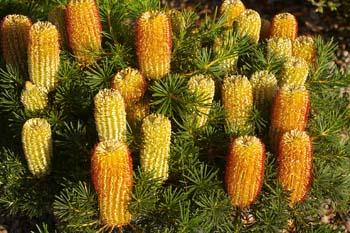 Best Australian Natives For Pots Amp Small Gardens