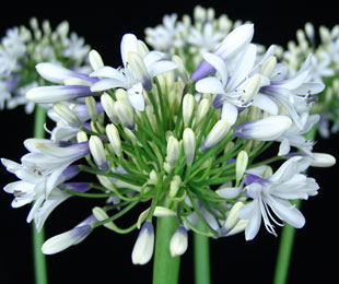 Agapanthus orientalis 'CLOUDY DAYS'  PBR
