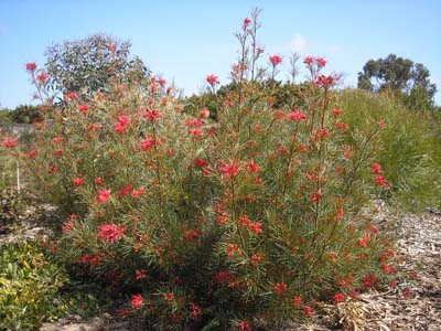 Grevilleas For Cold Climates