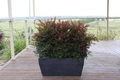 Obsession hedging plant