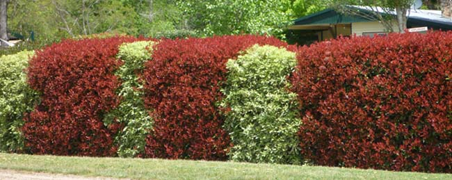 Photinia and pittosporum hedge