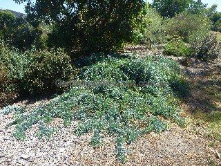 Cootamundra Wattle Acacia Baileyana Prostrate