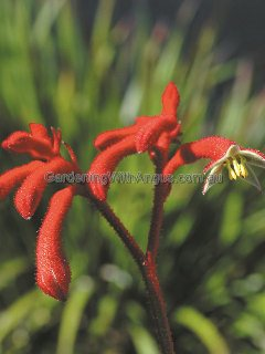 Anigozanthos 'Big Red'