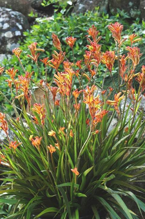 Growing Kangaroo Paws (Anigozanthos) In Your Garden