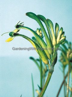 Anigozanthos 'Green Dragon'
