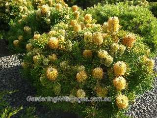 Banksia 'Birthday Candles'