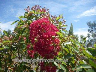Flowering Gum Corymbia Ficifolia Wildfire