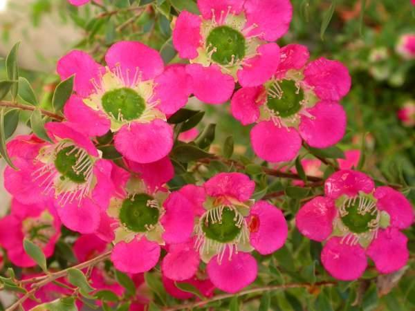Tea Tree Leptospermum Lipstick