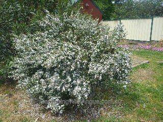 Wax Flower Philotheca Myoporoides Profusion