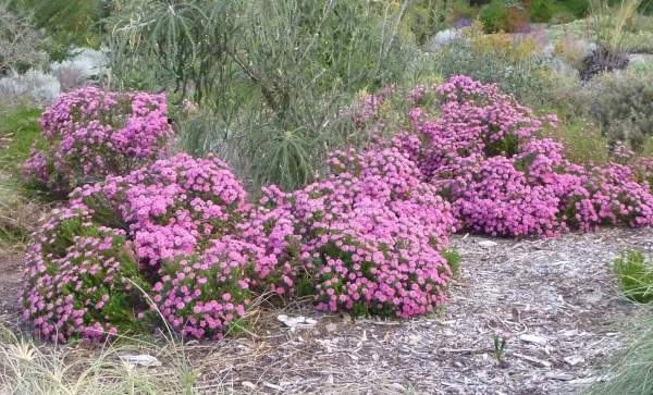 Rice Flower Pimelea Ferruginea Magenta Mist