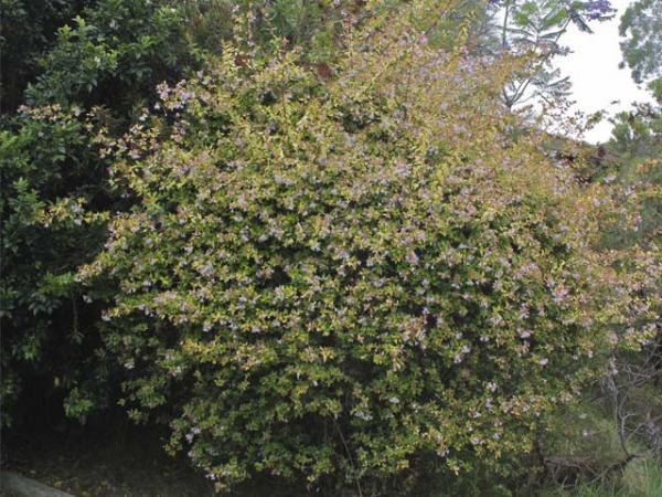 Abelia Golden Abelia Abelia Grandiflora Frances Mason