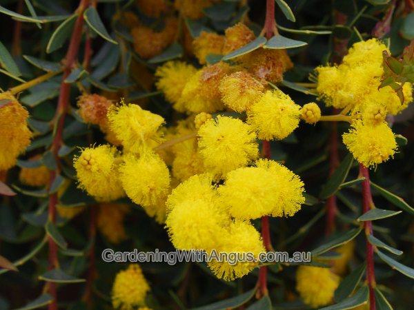 Knife Blade Wattle Acacia Cultriformis Cascade