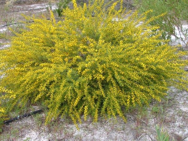 acacia spathulifolia gold carpet 001