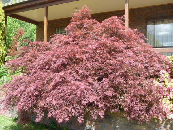 acer palmatum_maple 1