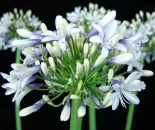 agapanthus orientalis_cloudy days