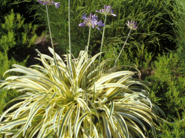 Lily Of The Nile Agapanthus Summer Gold