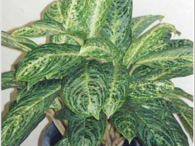 aglaonemas_chinese evergreen_brilliant beauty_1