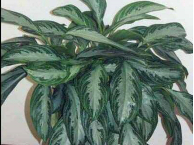 aglaonemas_chinese evergreen_silver rain_1