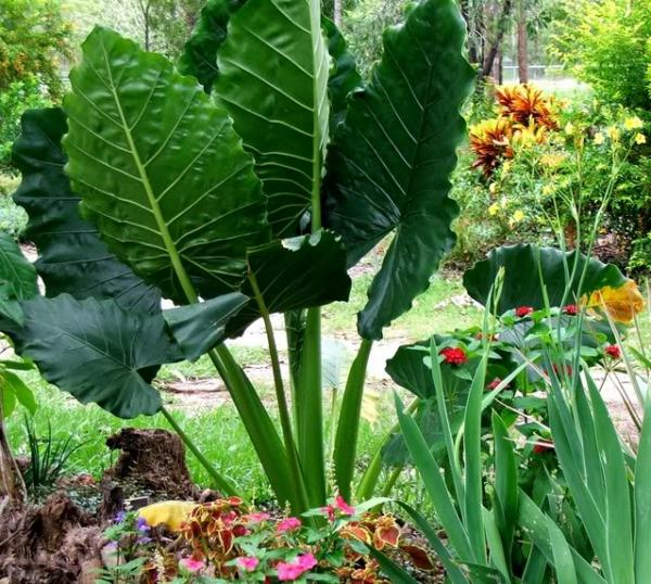 alocasia macrorrhizos_upright elephant ear1