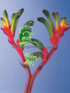Anigozanthos 'Bush Games'