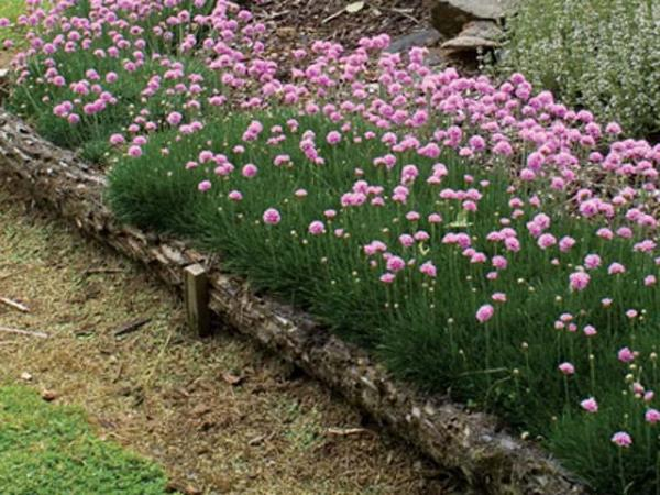 Thrift Sea Pink Armeria Armeria Alpina Bee S Lilac
