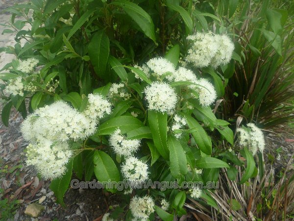 backhousia citriodora lemon myrtle 001