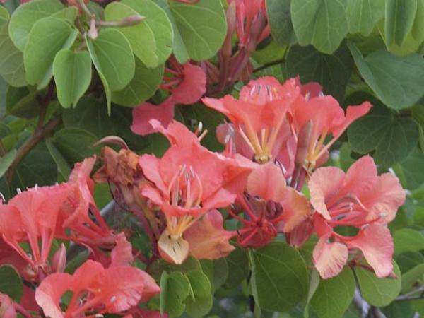 bauhinia galpinii red orchid tree 1207