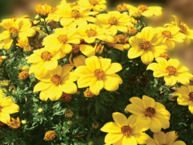 bidens ferulifolia tickseed tweety 1