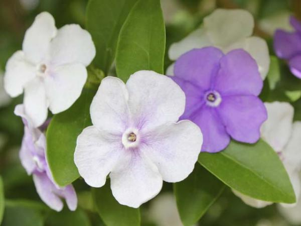 brunsfelsia latifolia yesterday today tommorow.