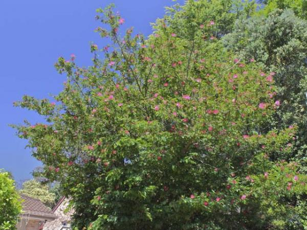 calliandra haematocephala_powderpuff tree.