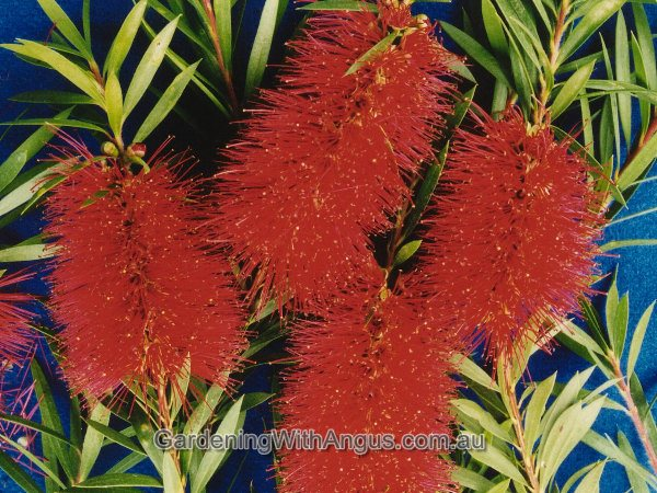 callistemon betka beauty 004