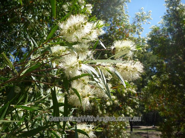 callistemon salignus willow bottlebrush 002