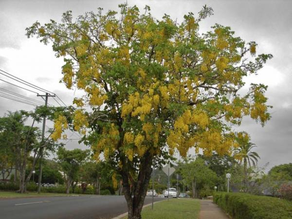 cassia fistula_golden shower tree