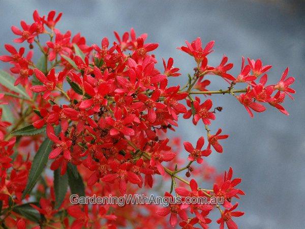 NSW Christmas Bush Ceratopetalum Gummiferum Johannas