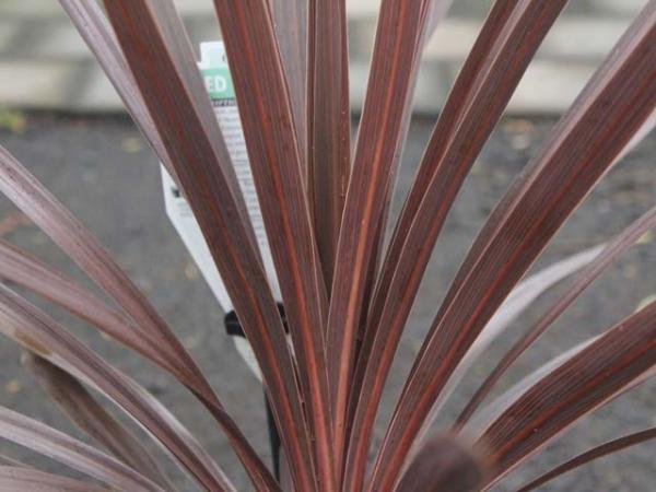 cordyline australis red star.