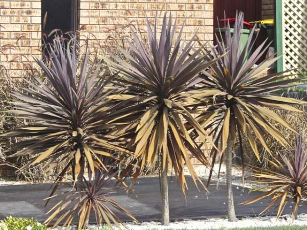 cordyline baueri red sensation.