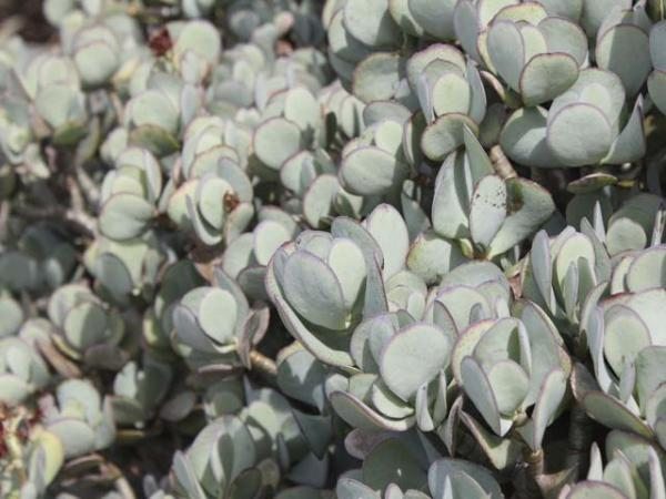 crassula ovata blue bird