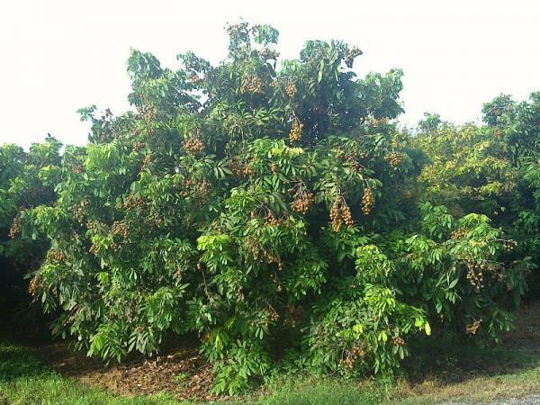 Longan Tree Dimocarpus Longan Kohala