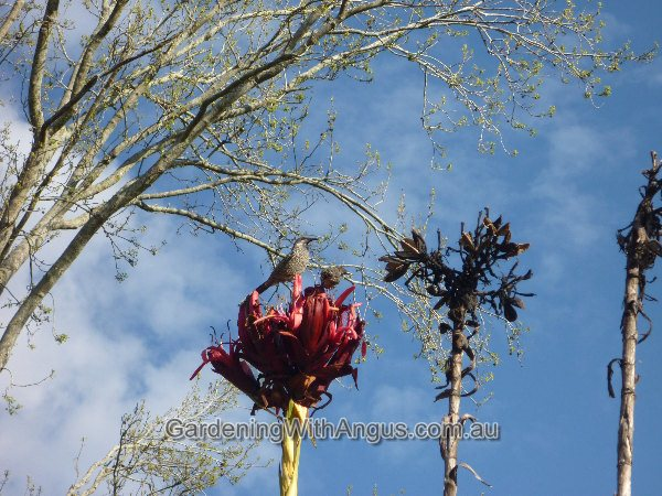 doranthes excelsa gymea lily 006