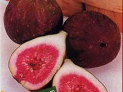 ficus carica_fig black genoa