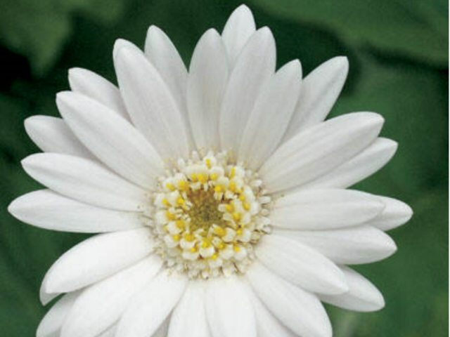 gerbera jamesonii gerbera everlast white 2
