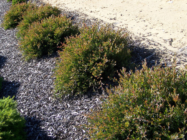 Ground Cover Plants Australia Drought Tolerant