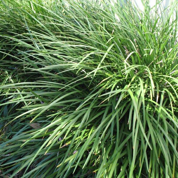 Liriope (Liriope muscari) 'Evergreen Giant'