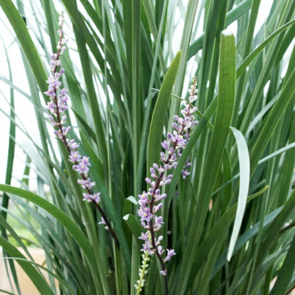 liriope muscari just right liriope(1)