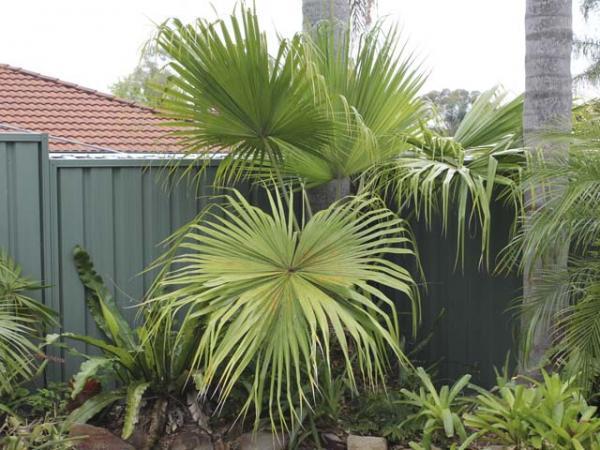 chinese fan palm fruit - photo #25