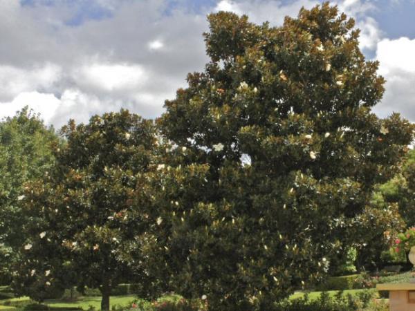 Bull Bay Magnolia Magnolia Grandiflora Little Gem
