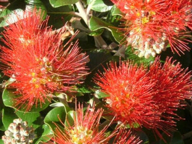 Christmas Bush In Pots.New Zealand Christmas Bush Metrosideros Hybrid Crimson Glory