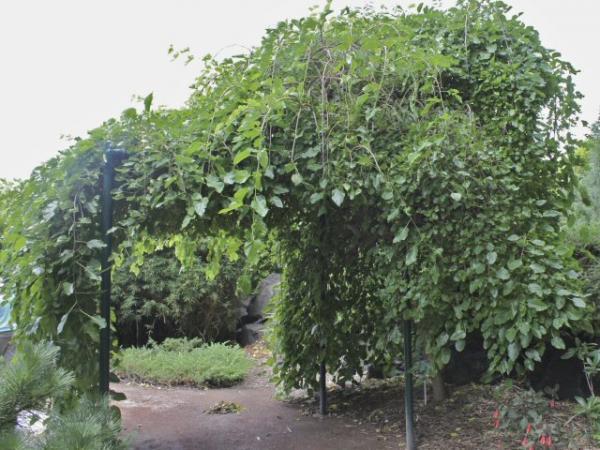 Weeping Mulberry Morus Alba Pendula