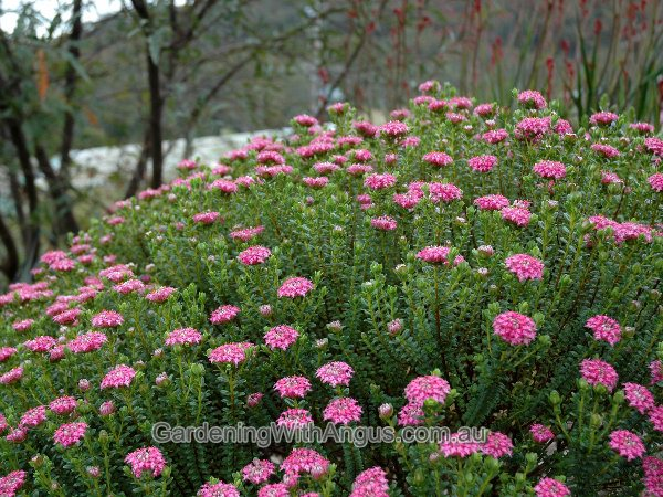 Rice Flower Pimelea Ferruginea Pink Solitaire